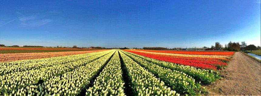 Tulip Fields around the Keukenhof.