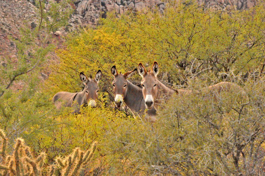 Animals running around in the Spring Mountain Ranch in Las Vegas